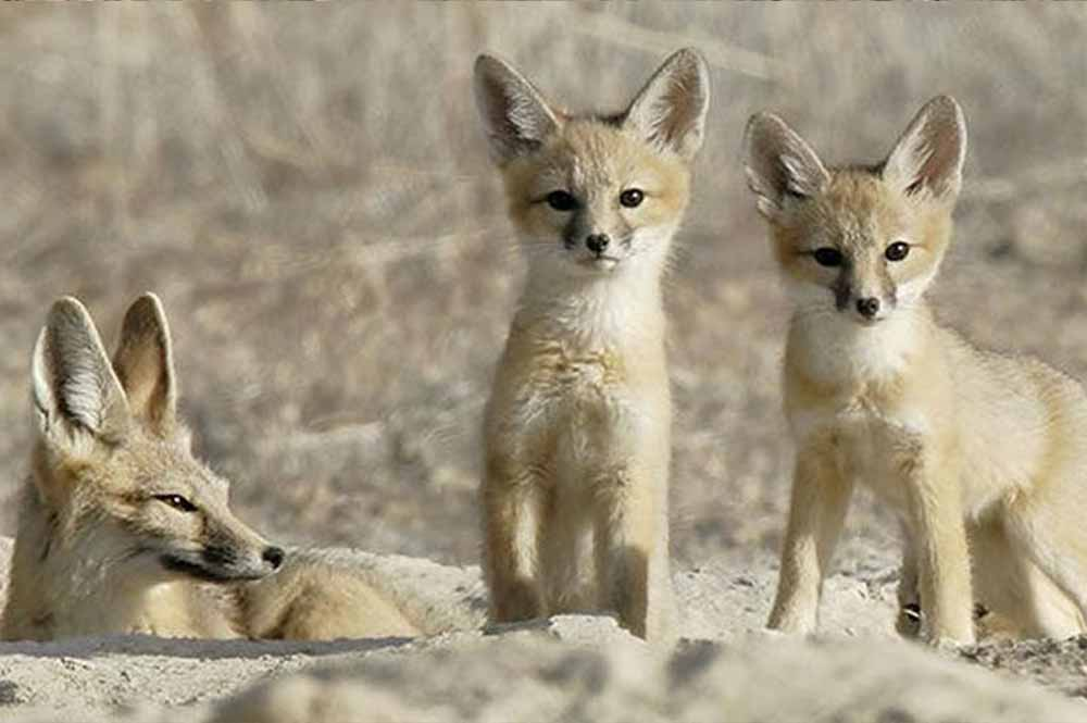 San Joaquin kit-fox-family